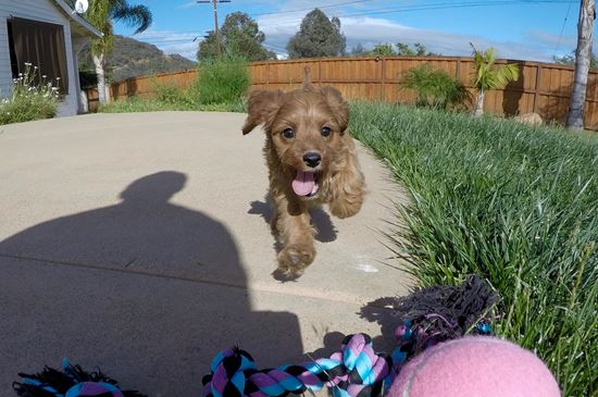 Cute female Cavpoo puppy !! - 10 week old Cava Poo