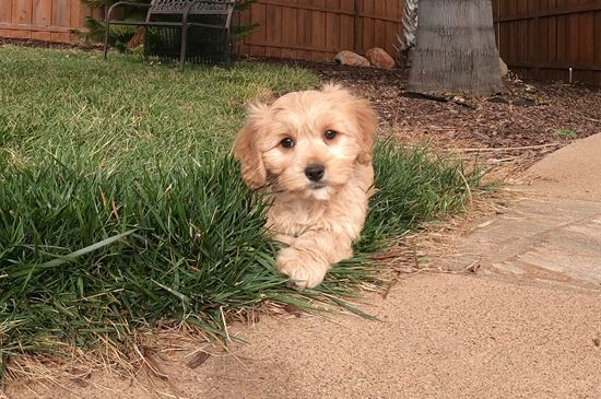 Cute male CavaChon designer puppy!! - 14 week old Cava Chon