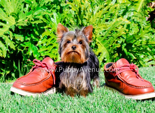 Chanel is our fully trianed Yorkshire Terrier Female Puppy