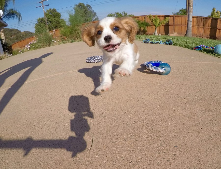 PERFECT male AKC Cavalier puppy! 13