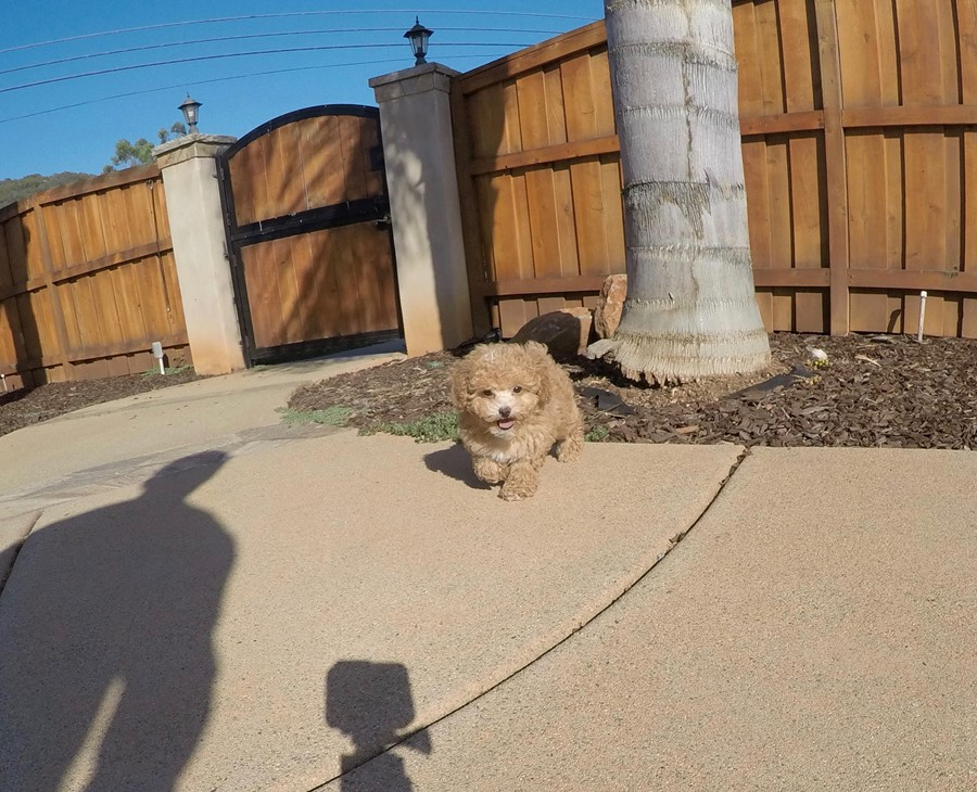 Tiny Male CavaPoo Puppy !! 9