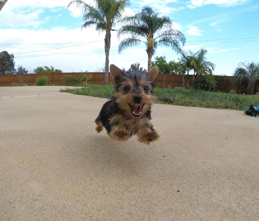 TINY Female ACA Yorkie puppy !! 6