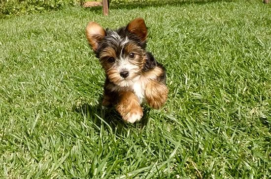 party yorkshire terrier tiny male parti yorkshire terrier puppy 6484