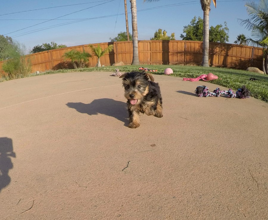 PERFECT female AKC Yorkie puppy! 9
