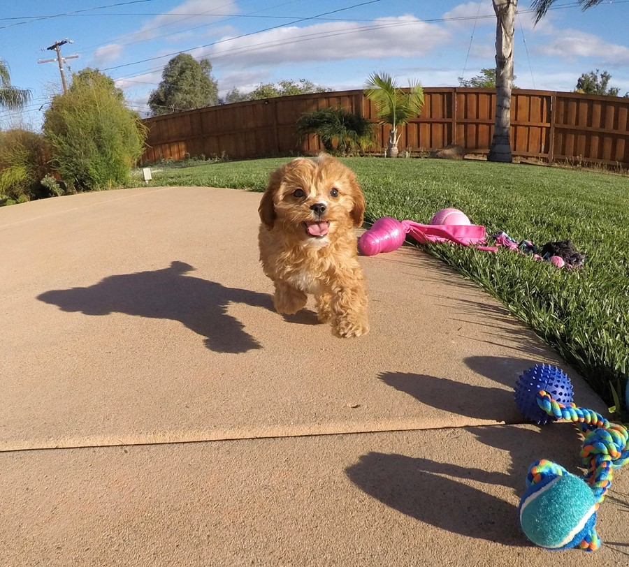 Male Cavapoo designer puppy !! 7