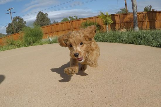 Adorable male Cavapoo designer puppy !! - 10 week old Cava Poo