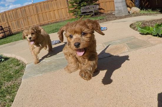 PERFECT CavaPoo designer puppy! - 41 week old Cava Poo