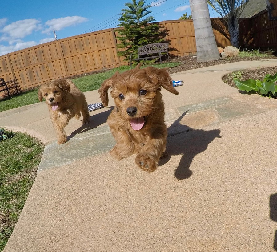 PERFECT CavaPoo designer puppy! 1