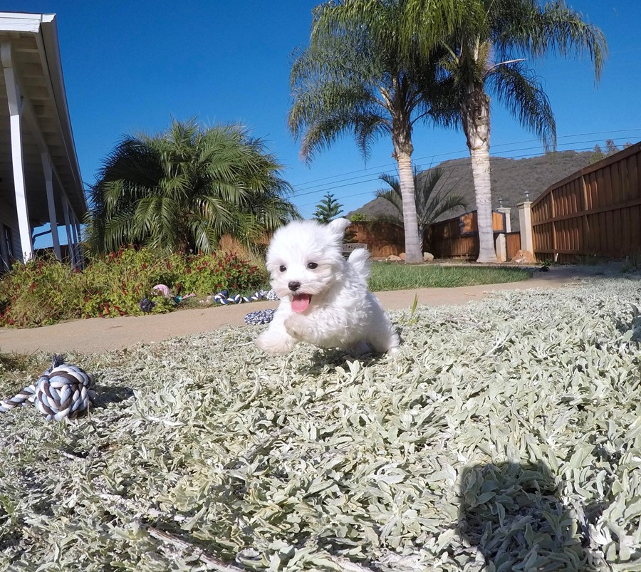 PERFECT Male ACA  Maltese puppy!! 3