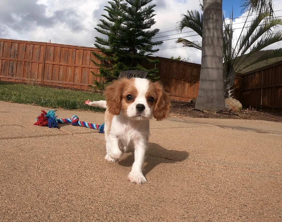 PERFECT male AKC Cavalier puppy!!! 7