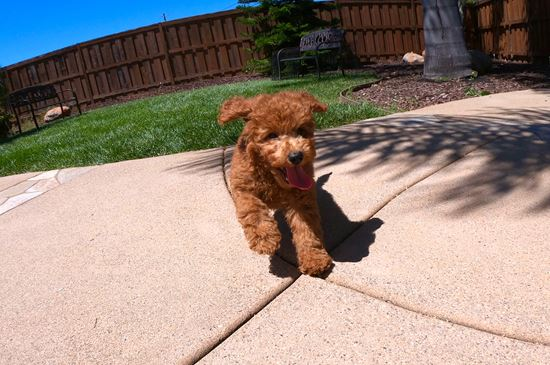 Male Mini GoldenDoodle puppy!!!  - 11 week old Mini Goldendoodle