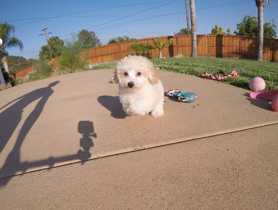 Adorable MaltiPoo designer puppy! 2