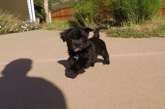 SUPER TINY Female Morkie Puppy !! - 12 week old Morkie