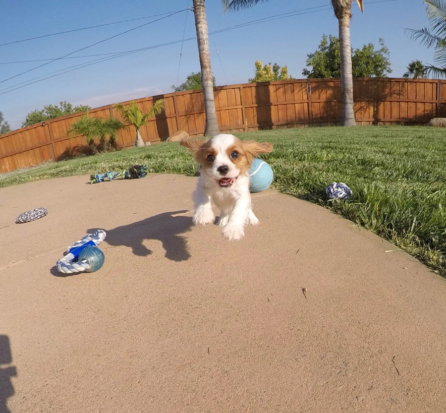 PERFECT male AKC Cavalier puppy! 10