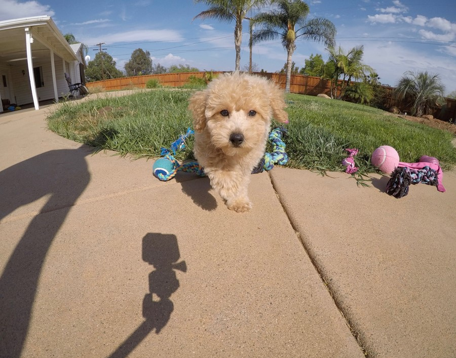 Super cute Male CavaPoo Puppy!! 9