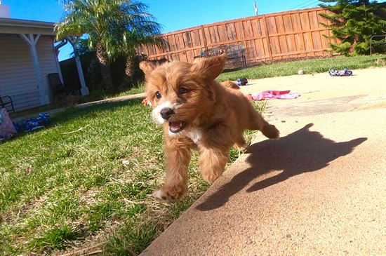 PERFECT female CavaPoo puppy! - 12 week old Cava Poo