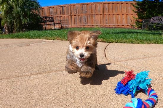 Perfect male Morkie puppy!! - 9 week old Morkie