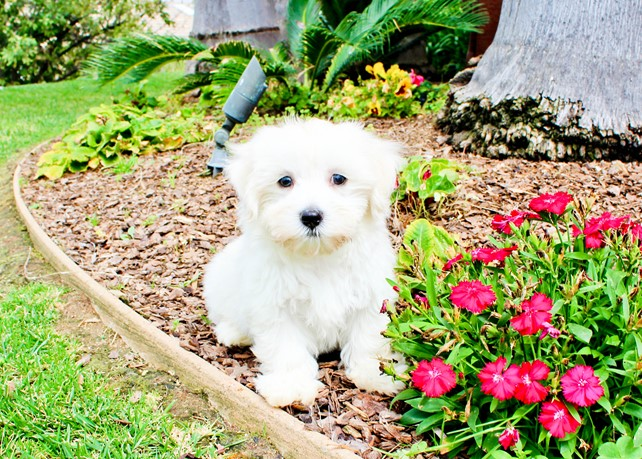 Luke is our Super Handsome Maltipoo Male Hybrid Puppy