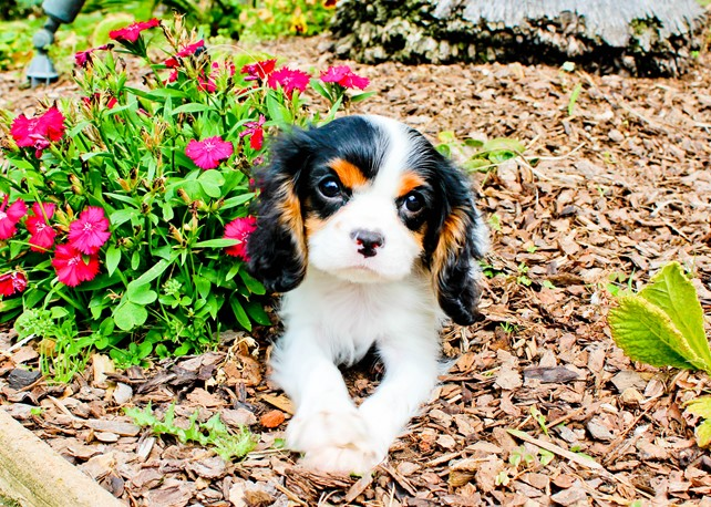 Wyatt is our Adorable AKC Cavalier Male Puppy