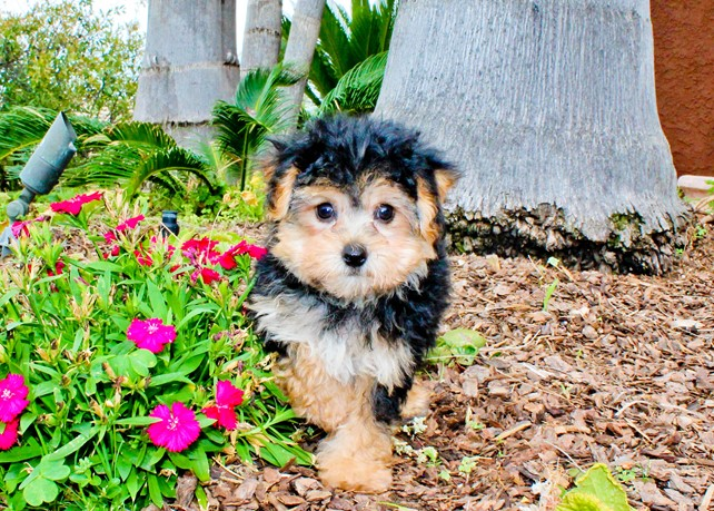 Vivian is our Gorgeous Yorkie Poo Hybrid Female Puppy