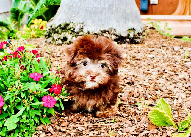 London is our Beautiful AKC Havanese Female Puppy