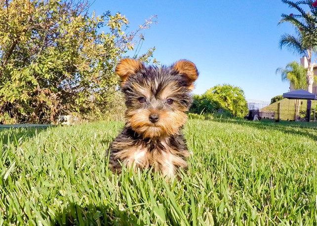 Nolan is our ADORABLE AKC Yorkshire Terrier Male Puppy