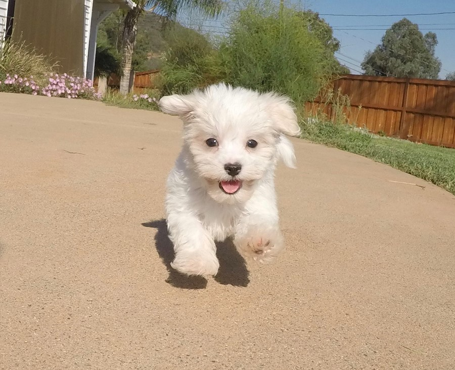 Male AKC Maltese puppy !! 13
