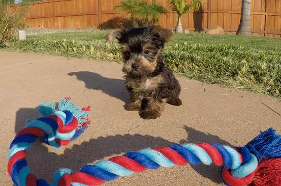 TINY male AKC Yorkie puppy! - 10 week old Yorkshire Terrier