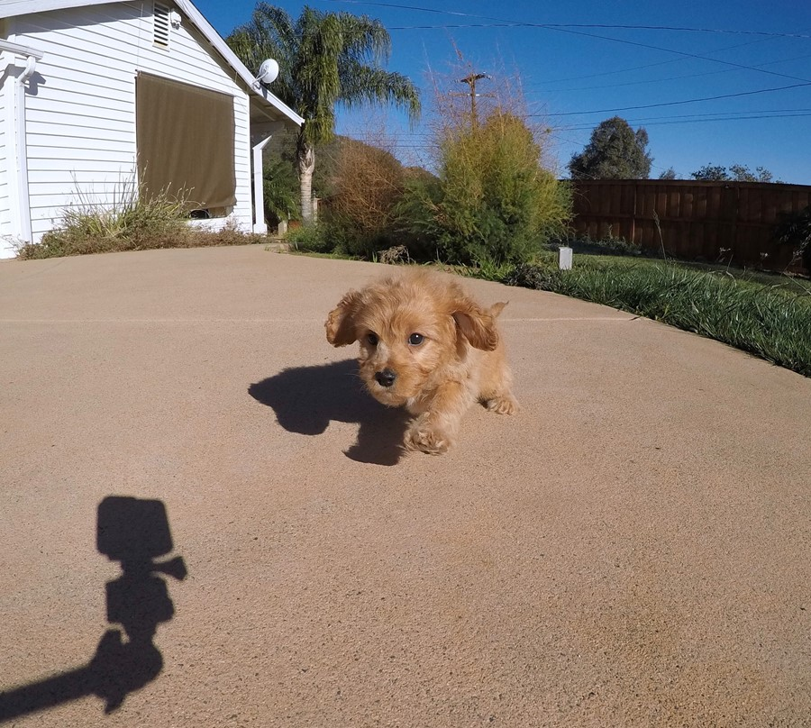 Stunning male Cavapoo puppy !! 6
