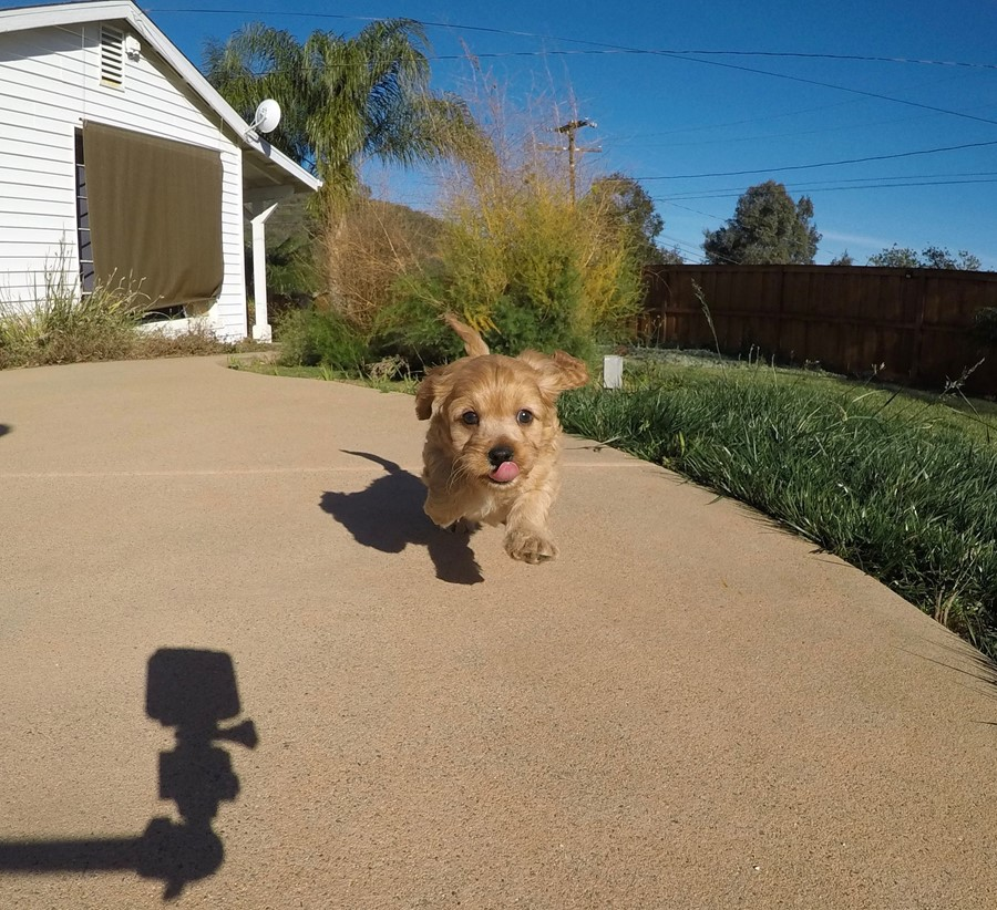 Adorable male Cavapoo puppy !! 6