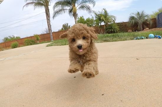 Adorable female CavaPoo puppy! - 46 week old Cava Poo