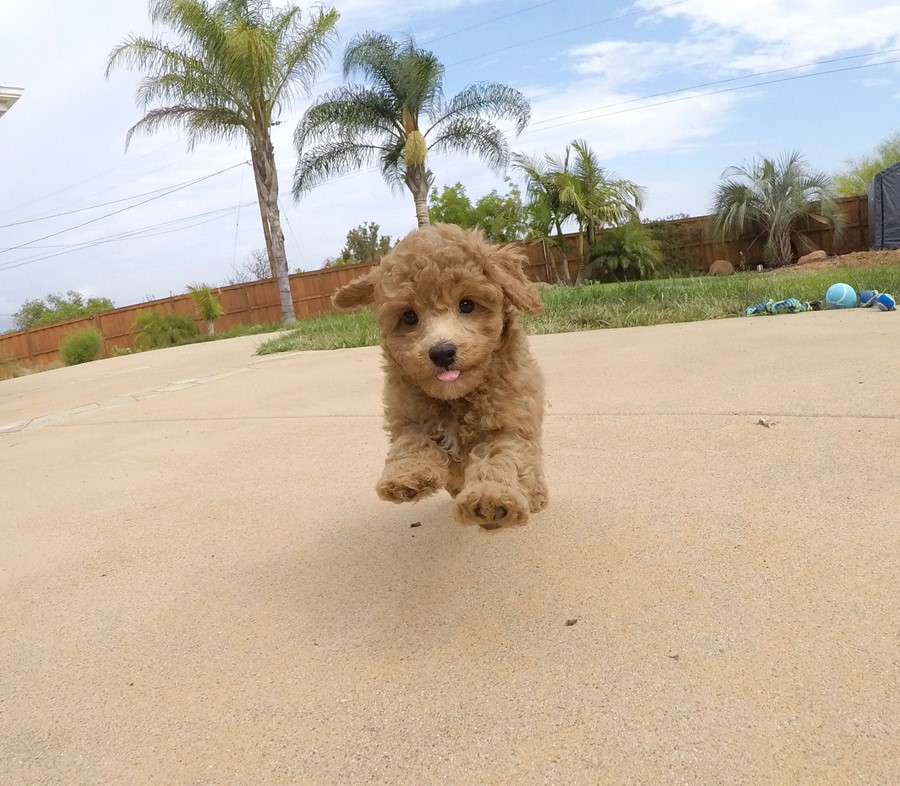 Adorable female CavaPoo puppy! 1