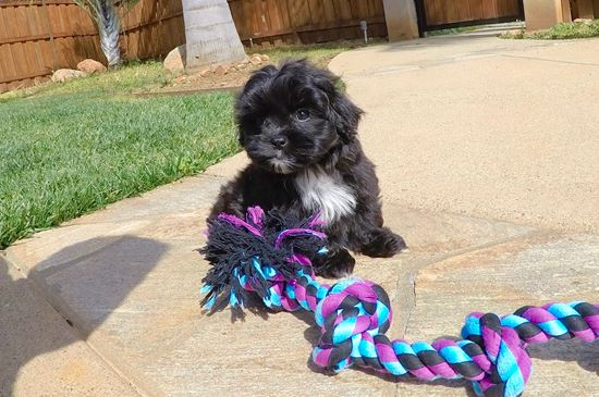 Super cute female Teddy Bear puppy !! - 10 week old Morkie