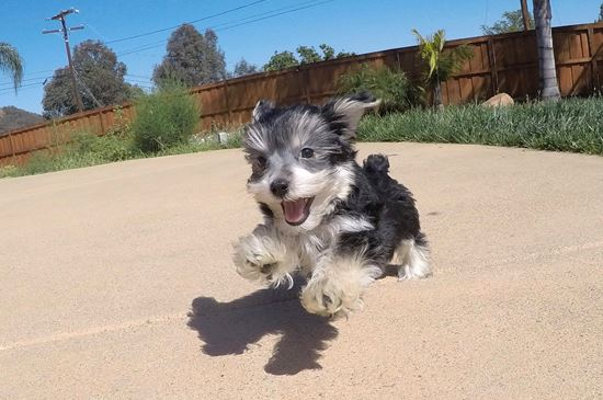 Cute Male Morkie Puppy !! - 11 week old Morkie