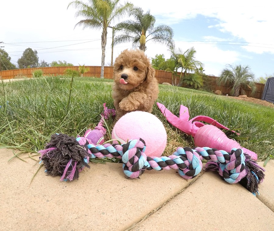 Adorable female CavaPoo puppy! 5