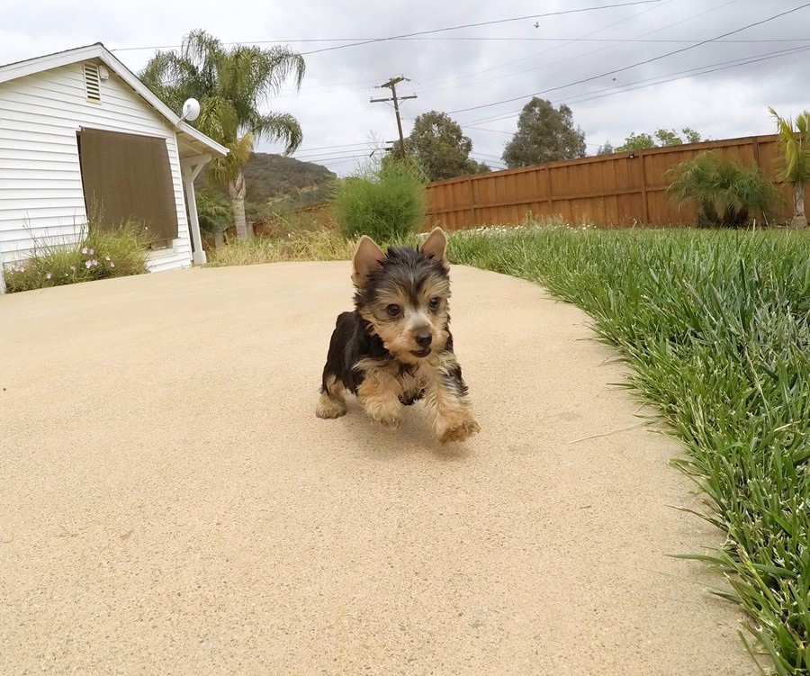 TINY Female AKC Yorkie  Puppy !! 3