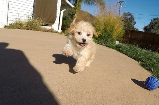 Male MaltiPoo designer puppy !! - 38 week old malti poo
