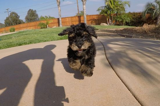 Adorable male Havanese puppy !! - 13 week old Havanese