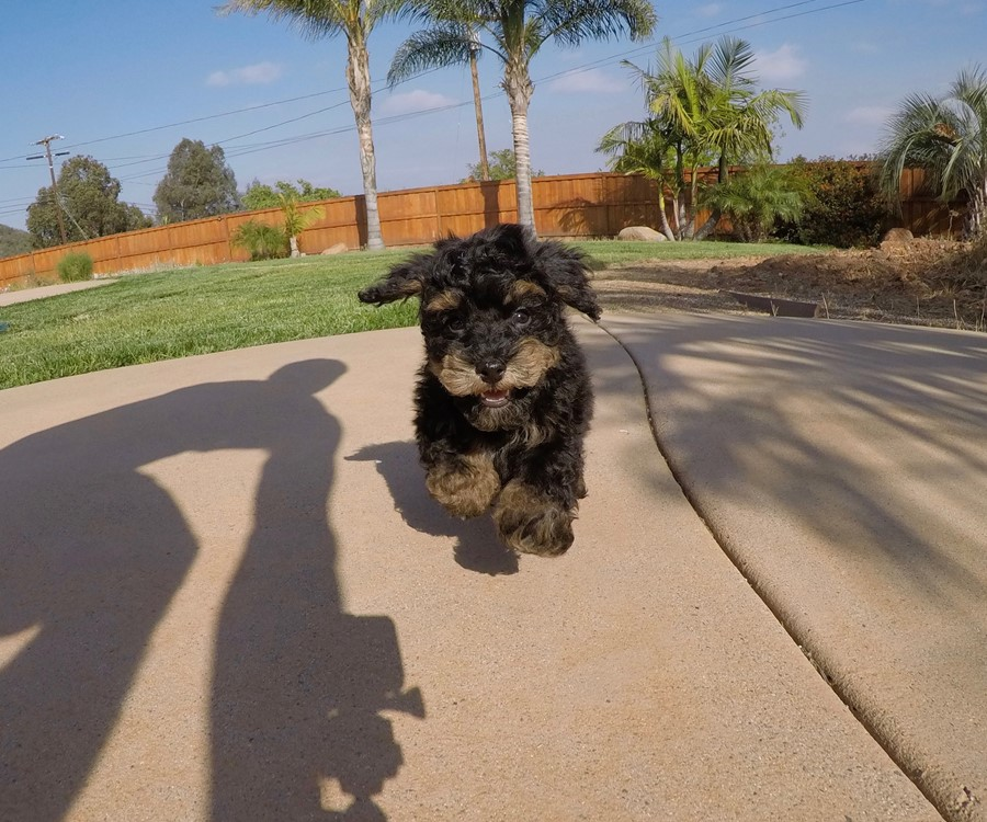 Adorable male Havanese puppy !! 1