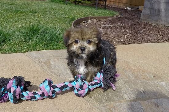 Adorable female Shorkie puppy!! - 9 week old Shorkie
