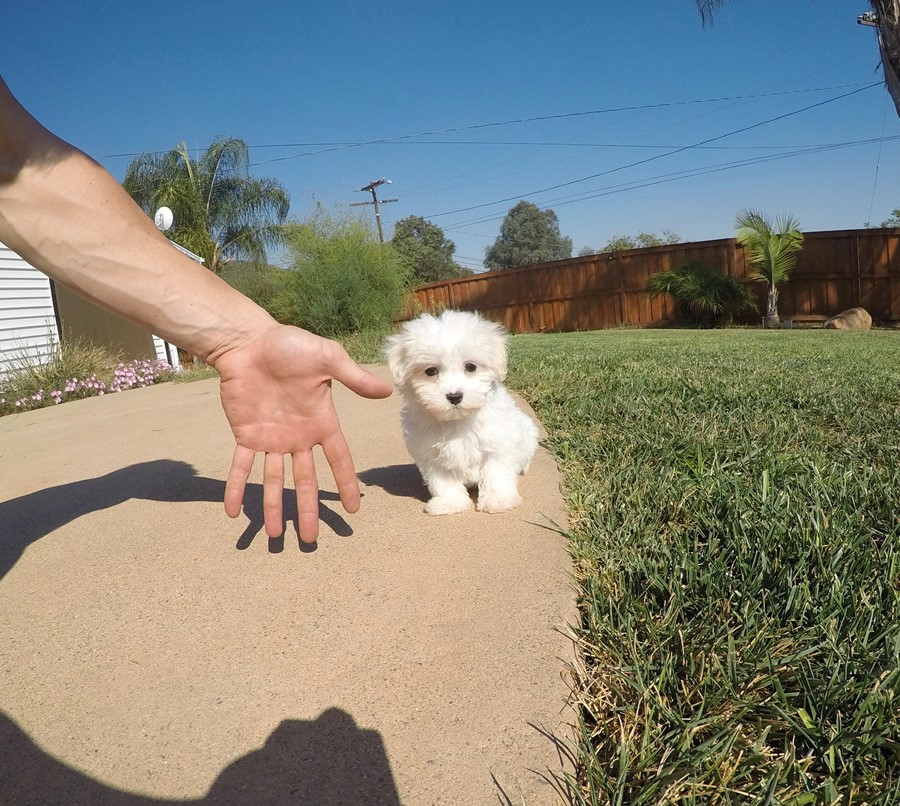 Male AKC Maltese puppy !! 5