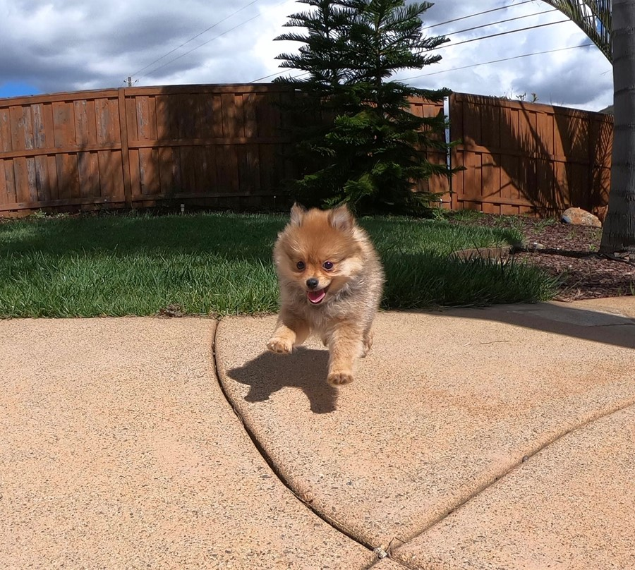 Super cute Pomeranian puppy !!! 7
