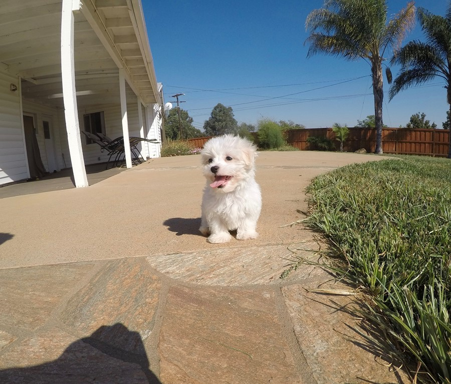 Male AKC Maltese puppy !! 9