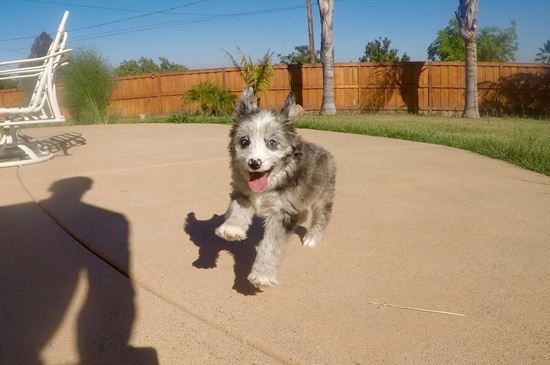 Male Mini AussiePoo Designer puppy!!  - 46 week old Mini AussiePoo