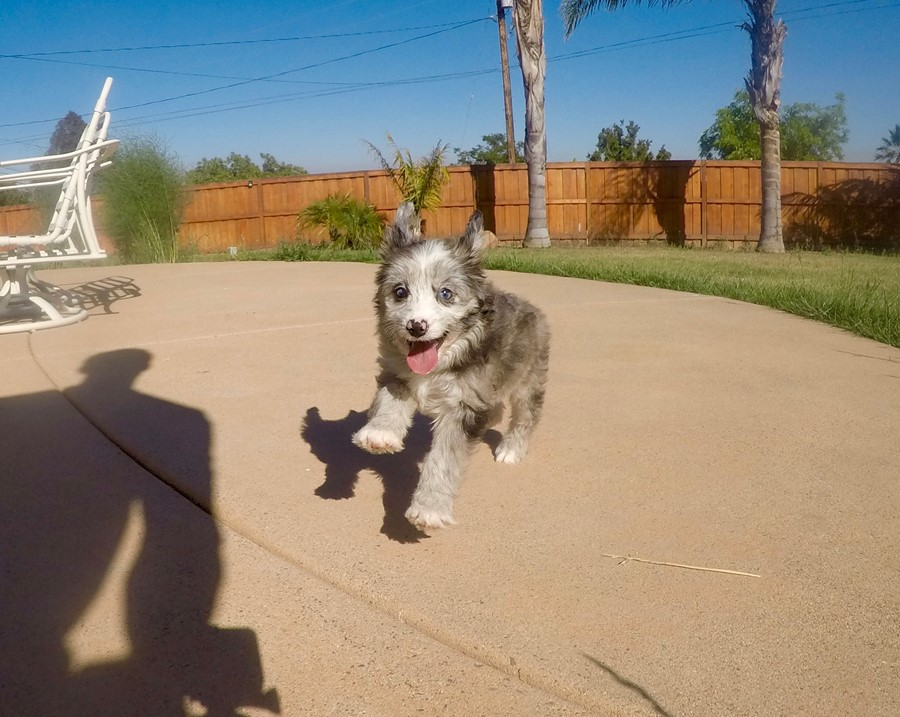 Male Mini AussiePoo Designer puppy!!  1