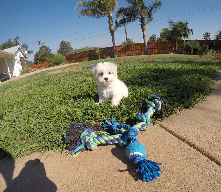 Male AKC Maltese puppy !! 4