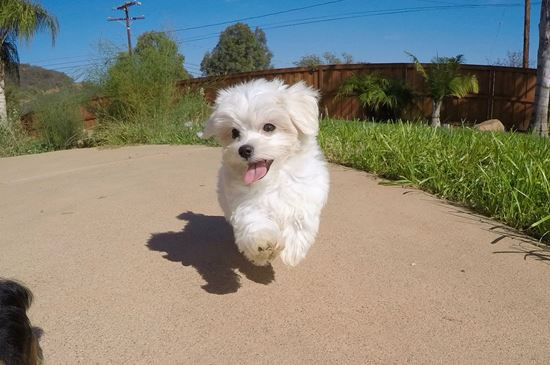 Adorable Female ACA Maltese Puppy !! - 14 week old Maltese