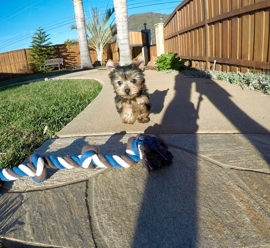 PERFECT male ACA Yorkie puppy!! 6
