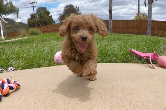 Adorable CavaPoo designer puppy!! - 9 week old Cava Poo