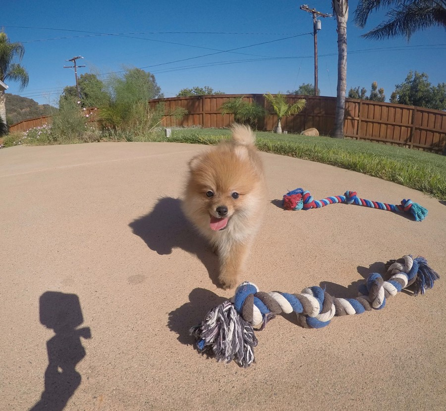 perfect male ACA Pomeranian puppy!! 2